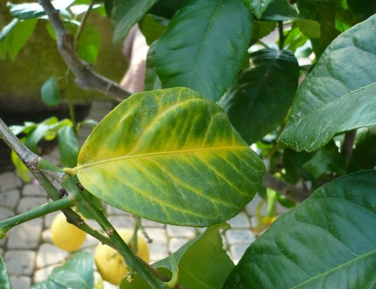 Болезни и вредители лимона, лечение и профилактика, а также как восстановить поврежденное растение