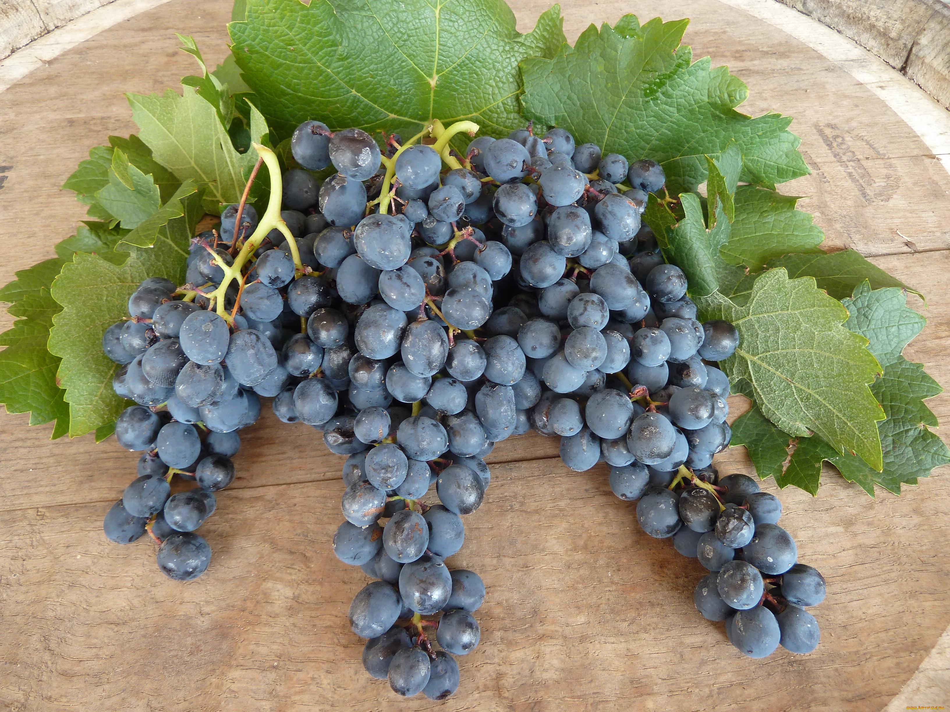 Описание сорта винограда саперави северный: фото и отзывы   vinograd-loza
