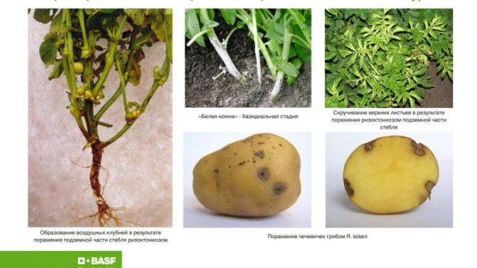Как бороться с паршой на картофеле и вылечить землю