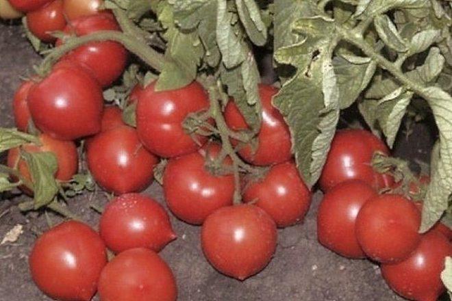 Выбираем семена томатов: коллекция от селекционеров на 2021 год