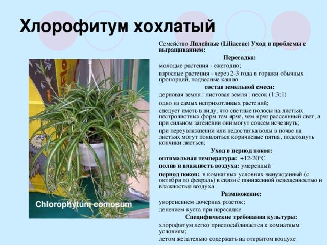 Хлорофитум (65 фото) - виды, уход и выращивание