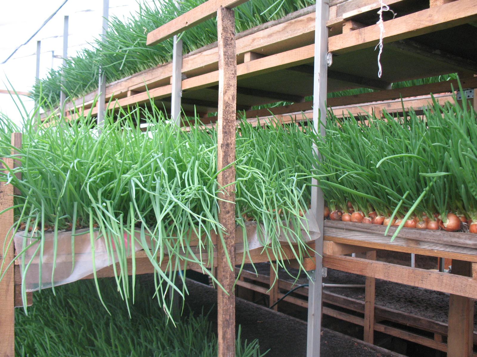 Лучшие сорта укропа для открытого грунта для выращивания в подмосковье: фото и описание
