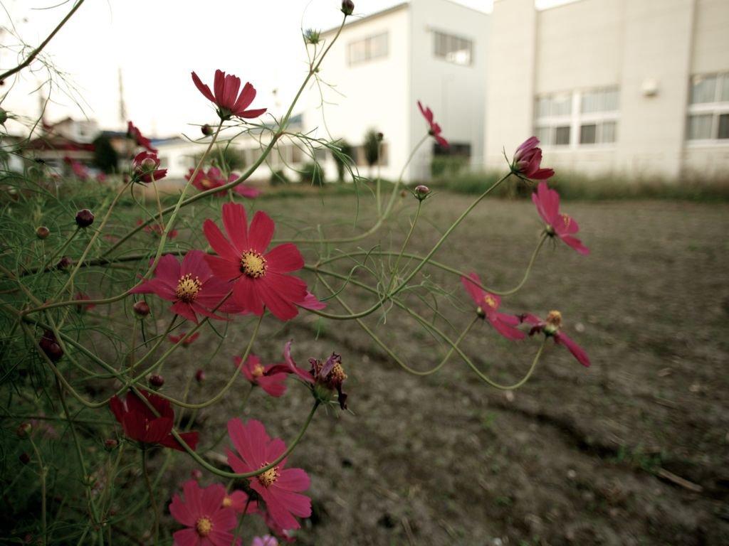 Посадка в открытый грунт, выращивание и уход за камелией садовой: фото + видео