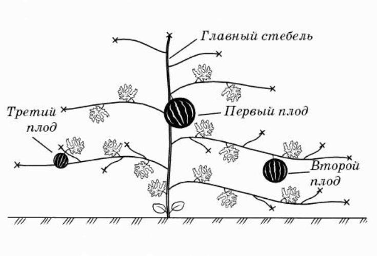 Как прищипывать арбузы в открытом грунте: схема формирования + советы