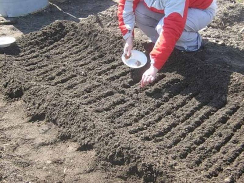 Посадка редиски в теплице ранней весной: можно ли начать посев в марте, как вырастить, а также что нужно делать, когда семена подготовлены? русский фермер