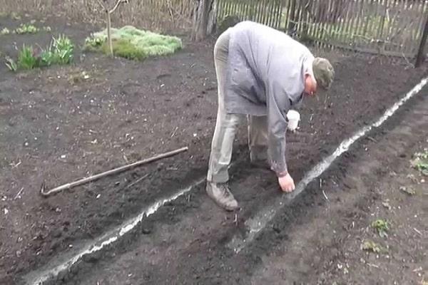 Как посадить горох и вырастить в домашних условиях в огороде