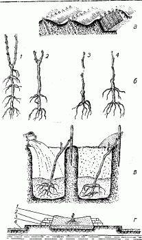 Подготовка и размножение винограда черенками в домашних условиях