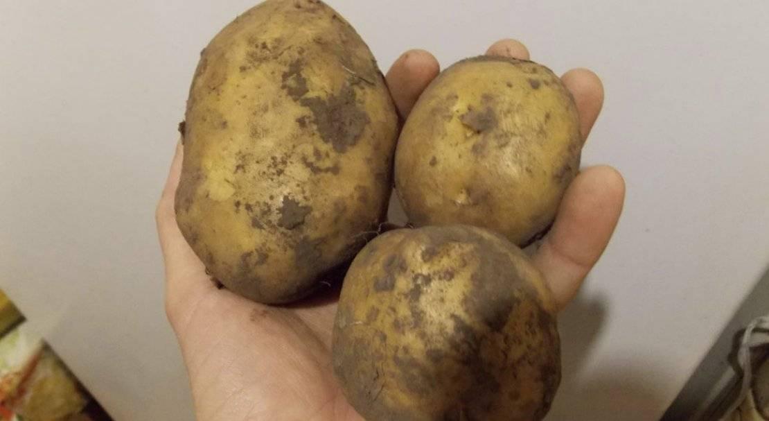 Сорт картофеля манифест: характеристика, описание с фото, отзывы