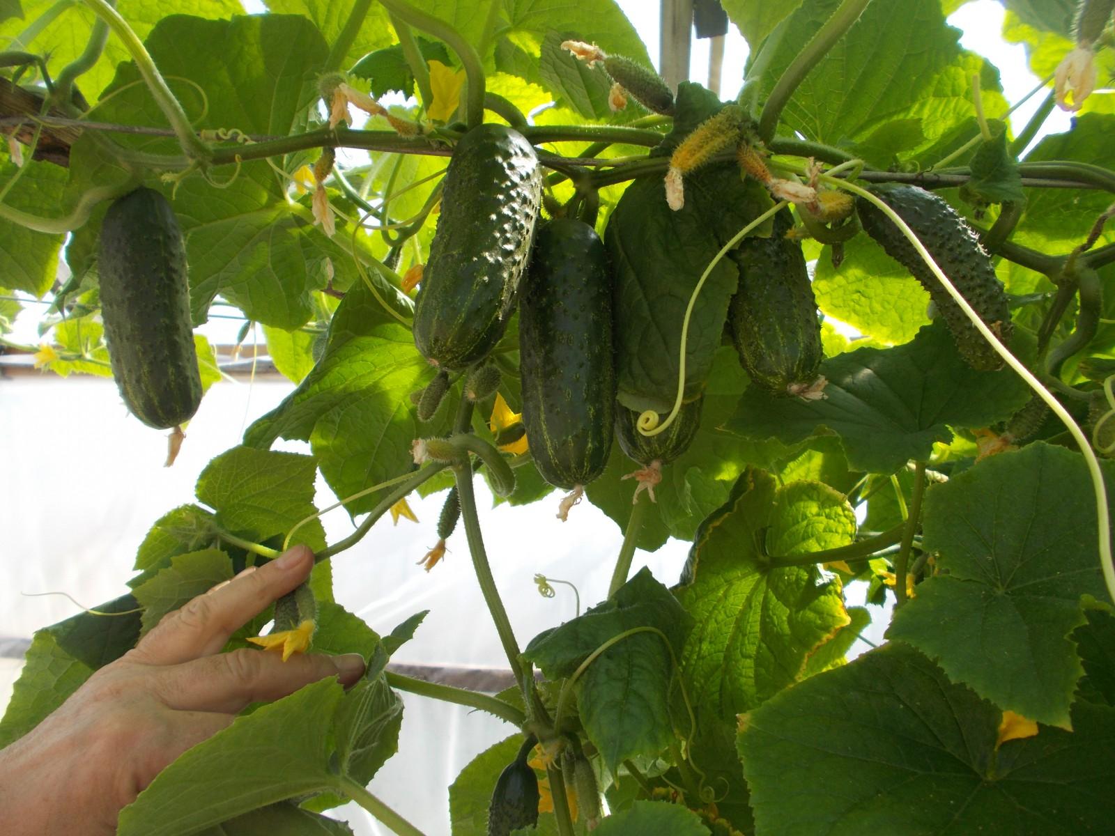 Огурец пасалимо f1 – урожайный и вкусный корнишон