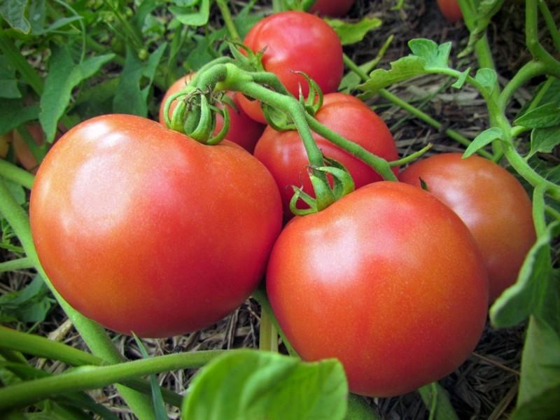 Томат ляна: описание сорта, отзывы, фото, урожайность