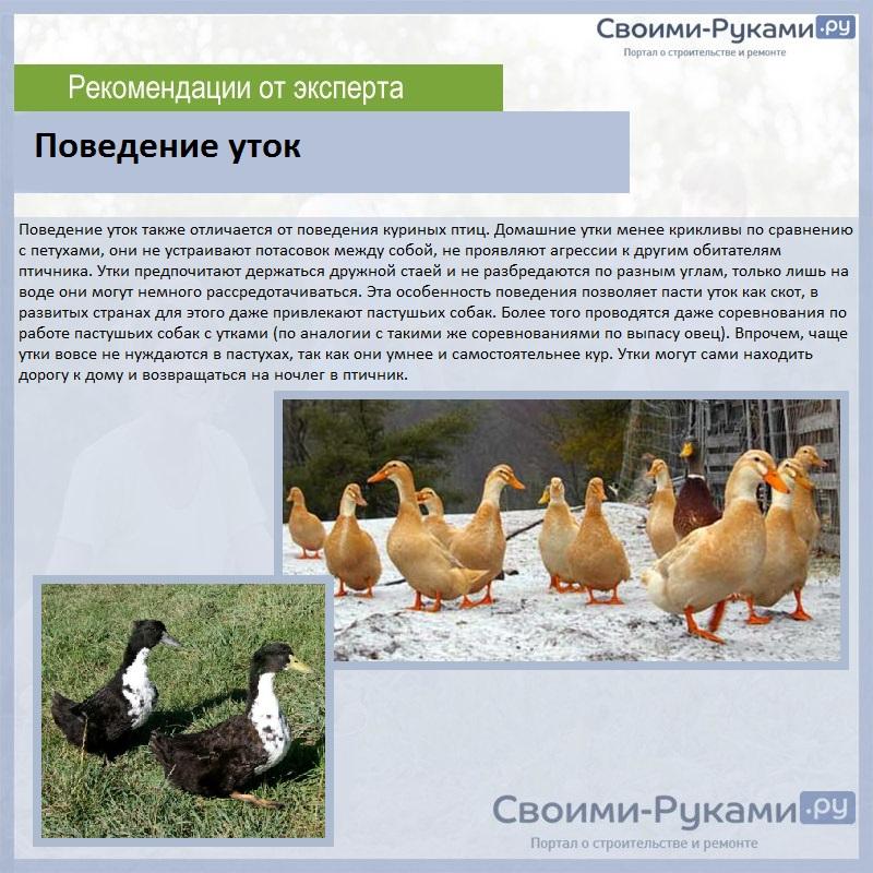 Домашние утки мускусные: разведение и уход