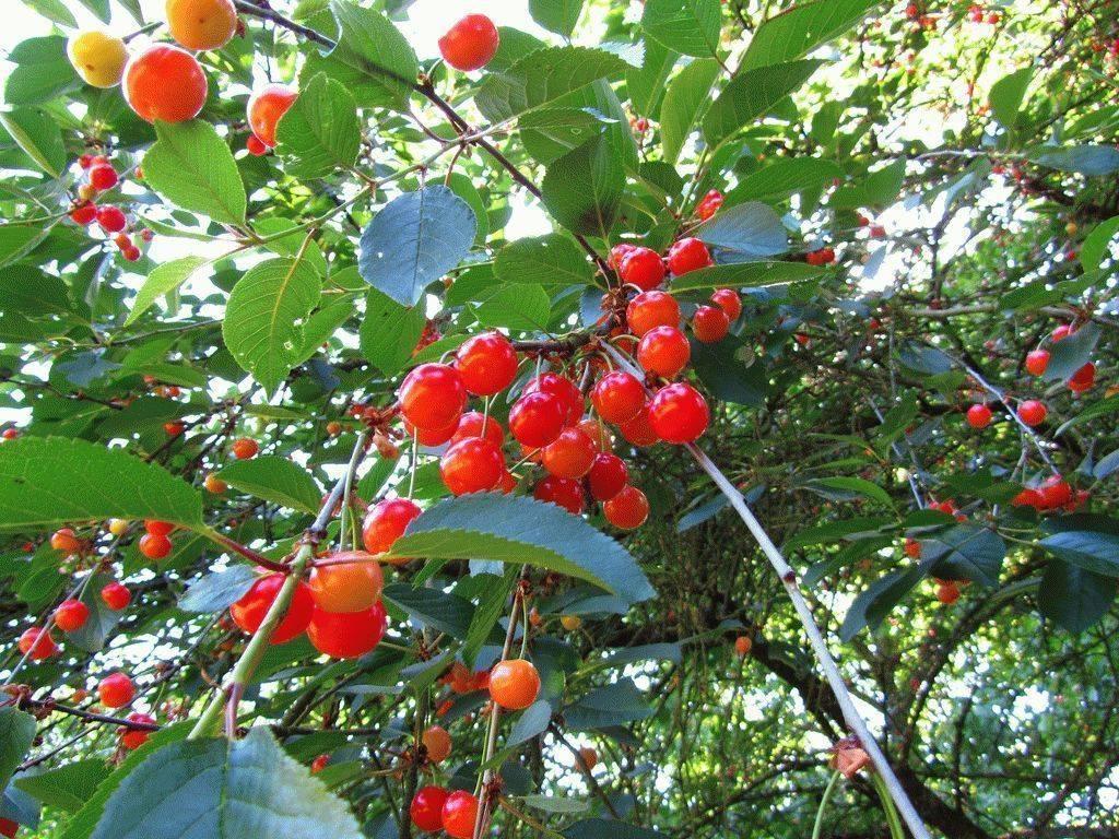 Сорта войлочной вишни: дальневосточная, для ленинградской области, для урала сорта войлочной вишни: дальневосточная, для ленинградской области, для урала