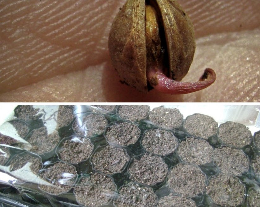Особенности выращивания вишни из косточки в домашних условиях