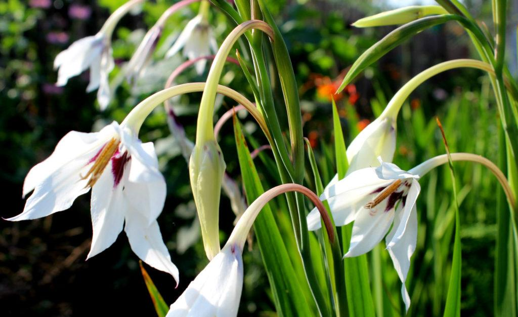 Ацидантера: посадка и уход в открытом грунте, размножение сорта, выращивание и сочетание в ландшафтном дизайне + фото