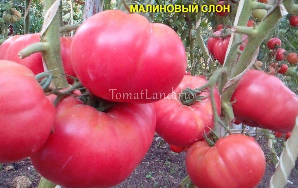 Секреты выращивания томатов розовый слон