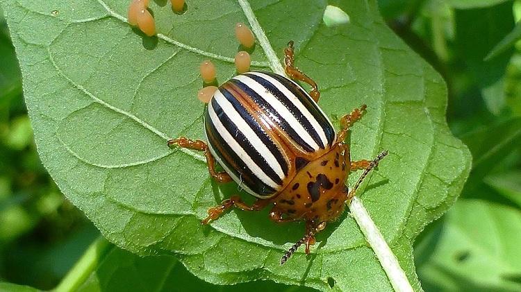 Деготь от колорадского жука: состав, как приготовить, инструкция по применению, отзывы
