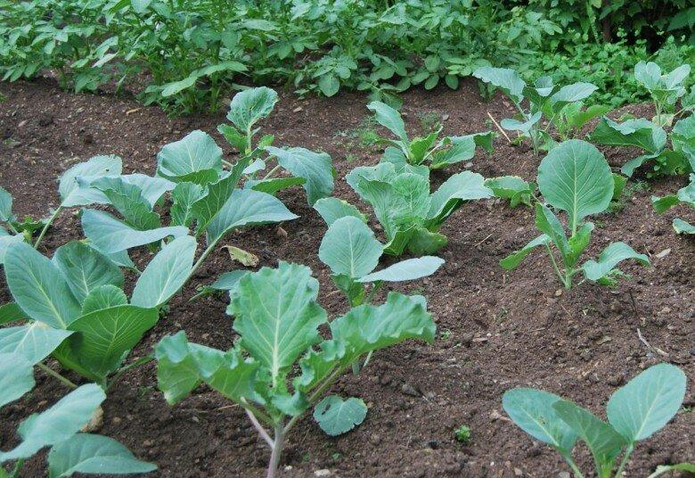 Нюансы выращивания цветной капусты на рассаду, в открытом грунте и в теплице