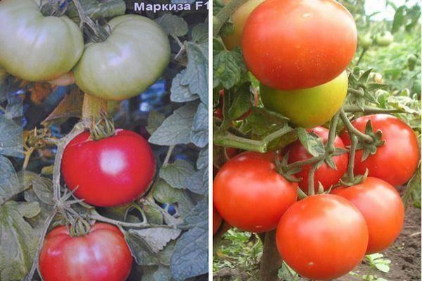 Описание томата Маркиз f1, особенности выращивания и отзывы огородников