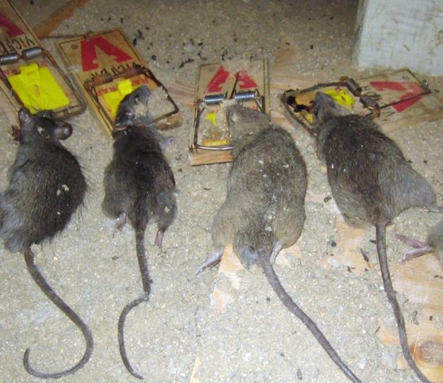 Как избавиться от крыс в частном доме быстро и эффективно