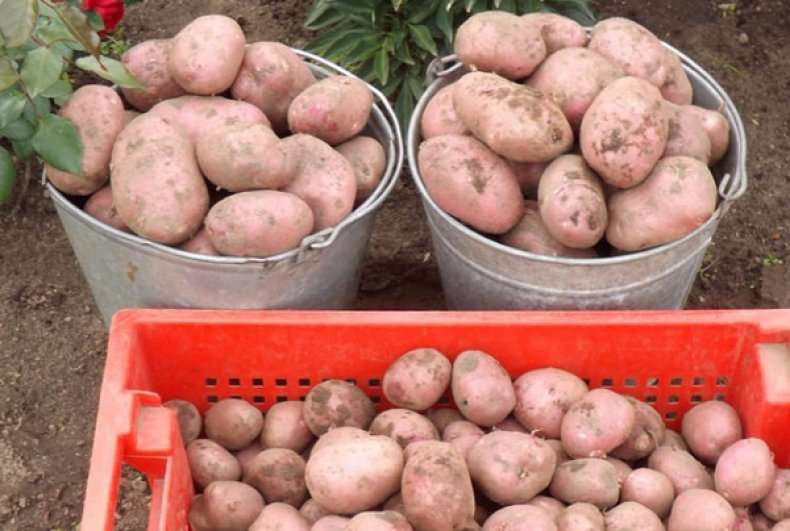 Описание сорта картофеля латона