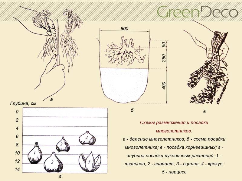 Технология размножения лилий чешуйками и другими способами