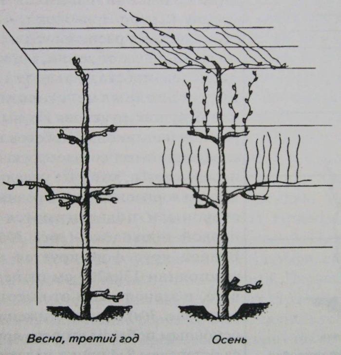 Подвязка винограда весной для начинающих, сроки в 2021 году