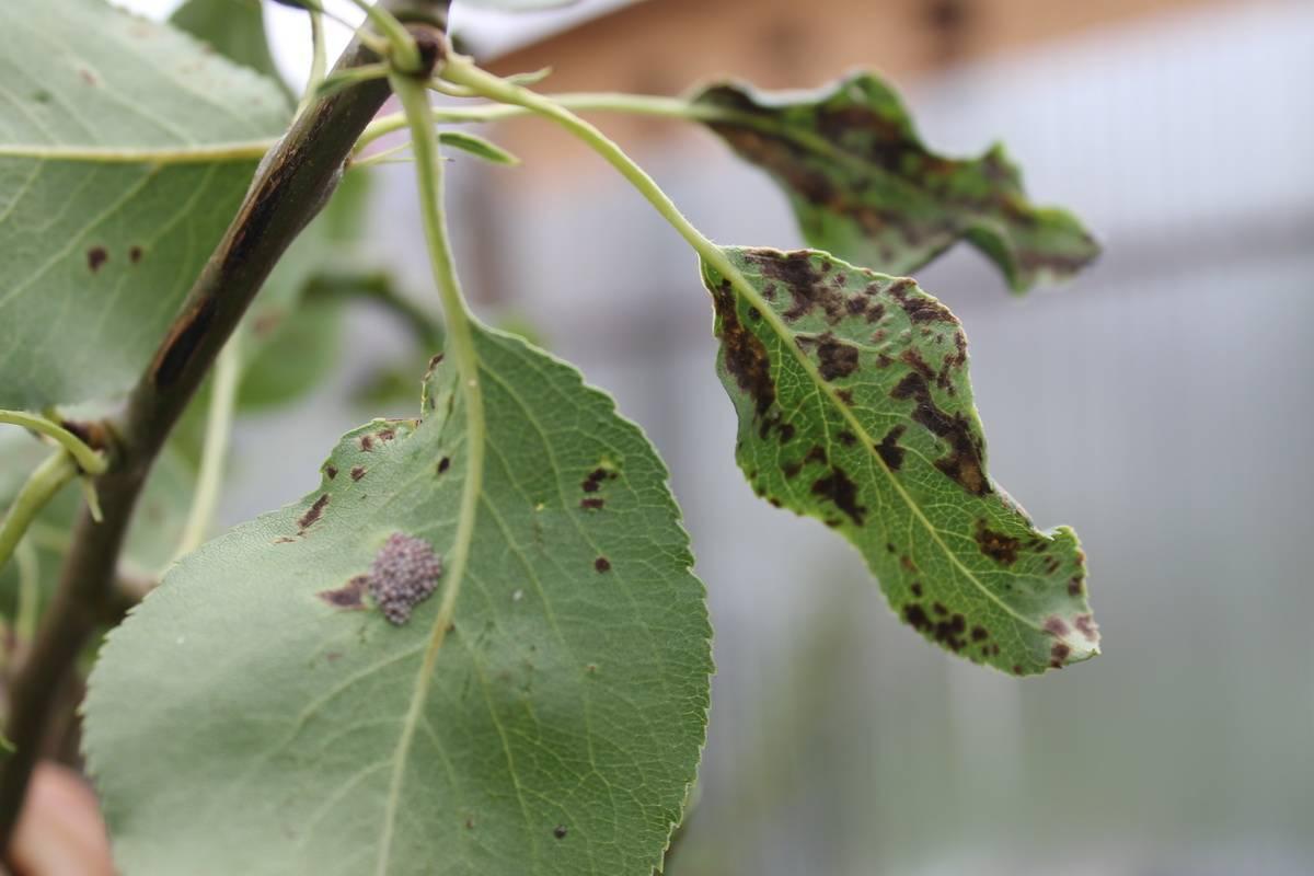 Болезнь яблонь черный рак, как лечить поврежденное растение, а также сорта устойчивые к заболеванию