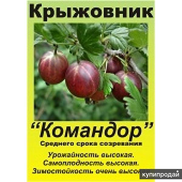 Крыжовник командор: все о выращивании сорта