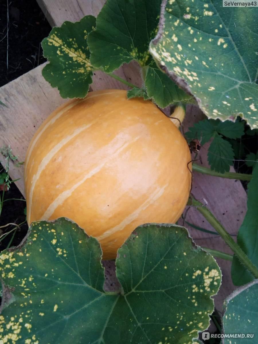 Выращивание тыквы в сибири в открытом грунте и уход за ней поэтапно