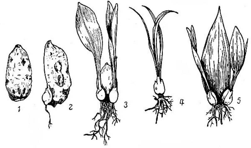 Как размножить лилию. 6 методов размножения лилий