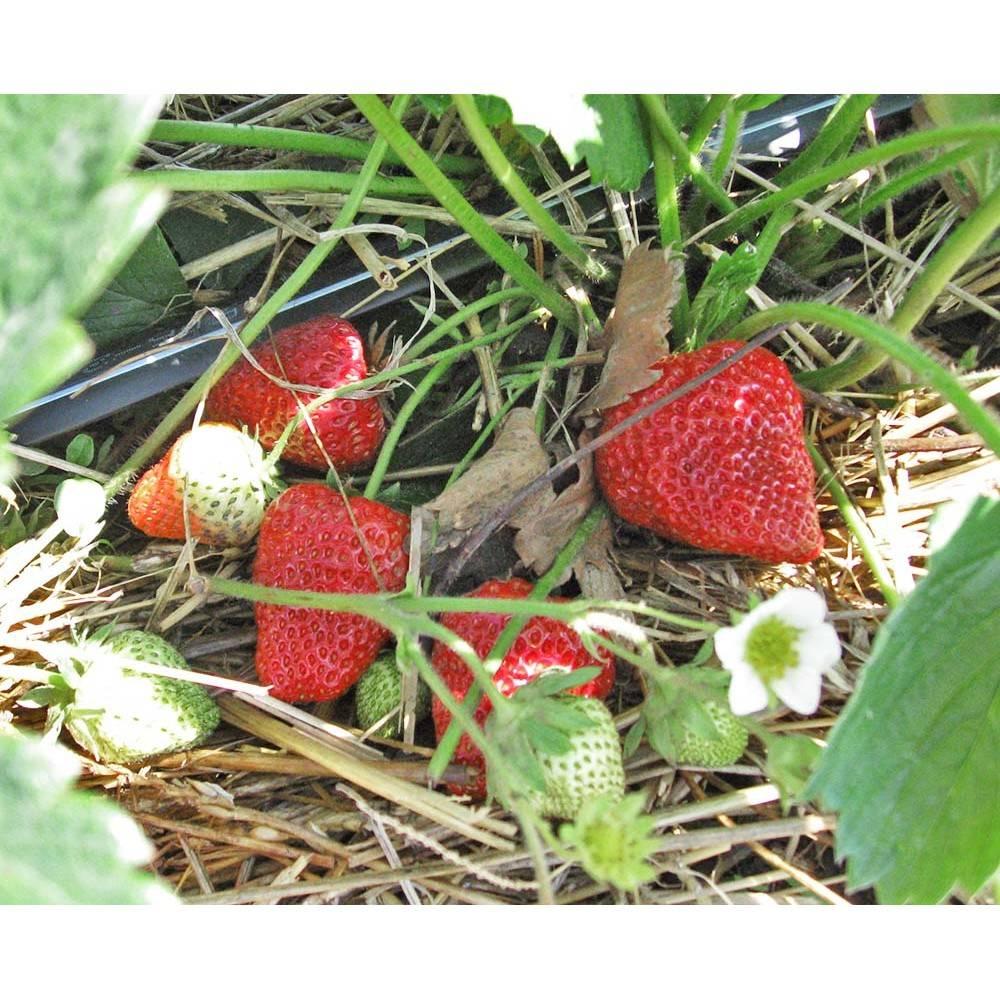 Ремонтантная клубника и земляника: сорта, выращивание, посадка и уход