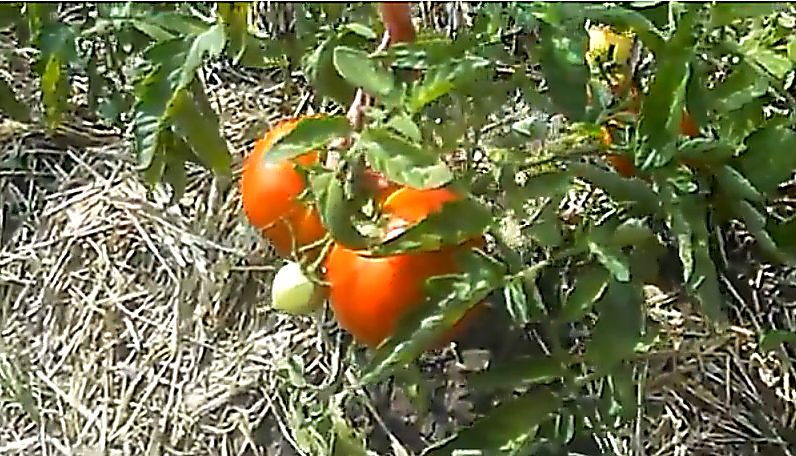 Характеристика и описание сорта помидоров полбиг