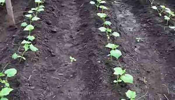 Высадка рассады огурцов в открытый грунт: как сажать, пикировка, дальнейший уход