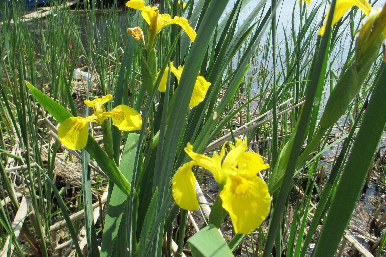 Описание болотного ириса, посадка и уход в открытом грунте, подготовка к зиме