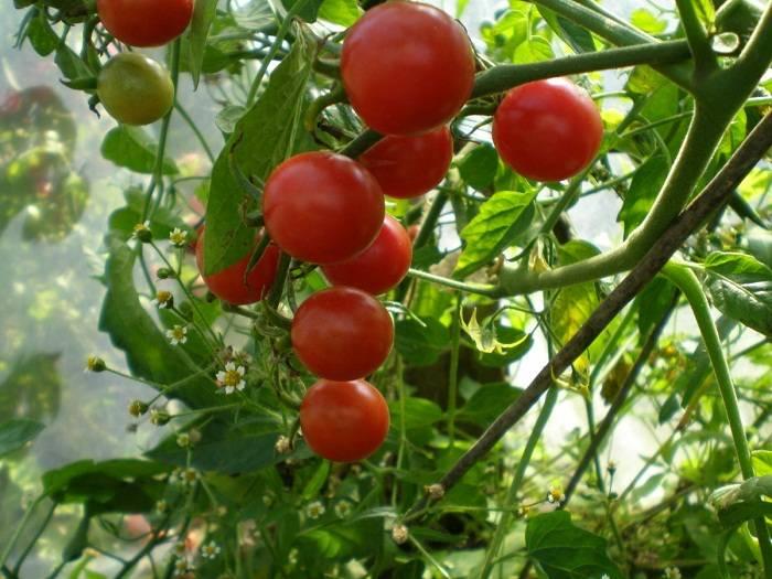 Перец какаду - характеристика и описание сорта, гибрида, фото, урожайность, отзывы овощеводов