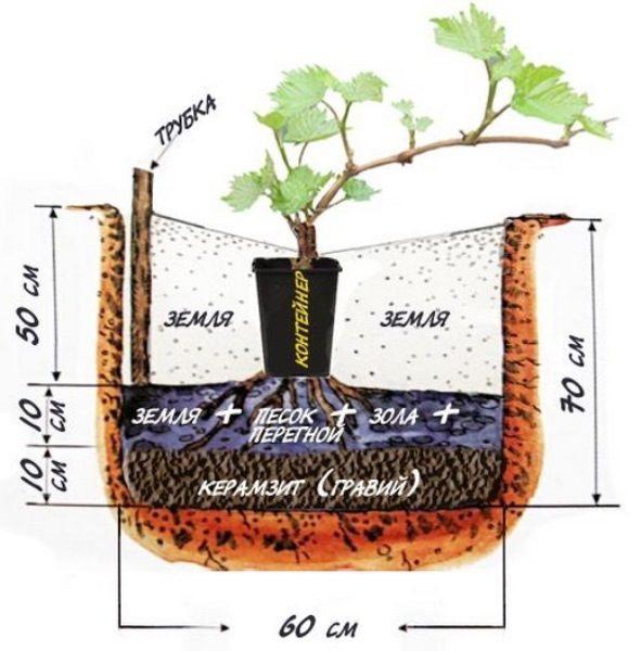 Когда лучше сажать виноград осенью или весной?