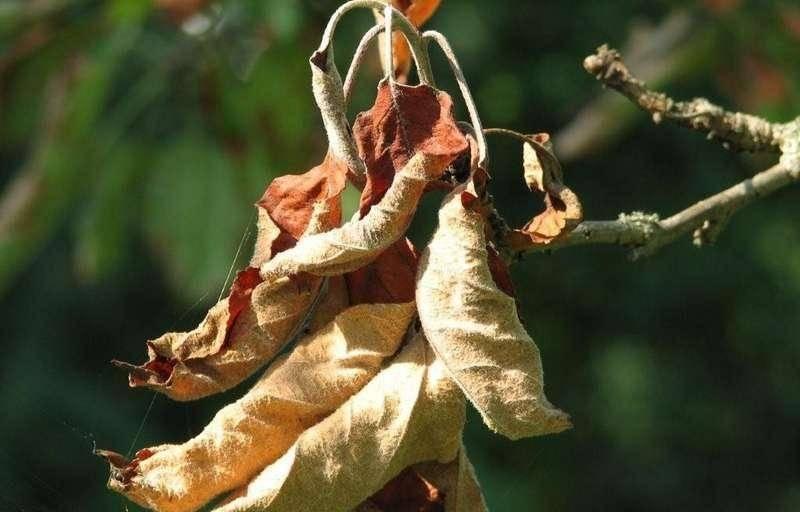 Химические препараты против болезней листьев у яблони