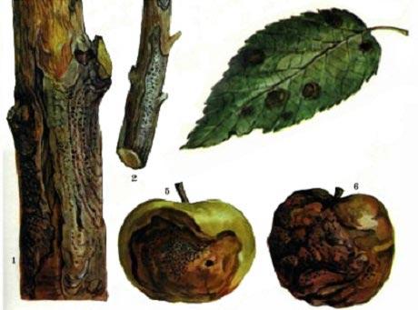 Болезни яблонь: описание с фотографиями и способы лечения, видео