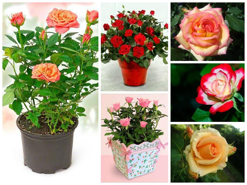 Роза кордана - прекрасный миниатюрный цветок