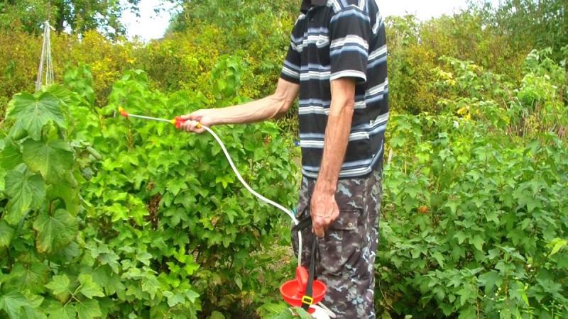 Уход за малиной после сбора урожая: как не загубить растение?