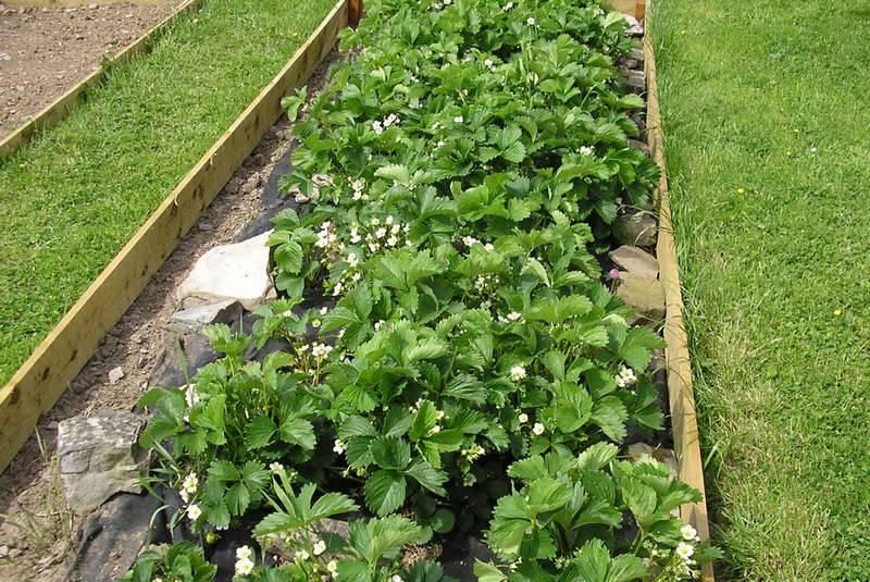 Особенности выращивания клубники в подвесных грядках