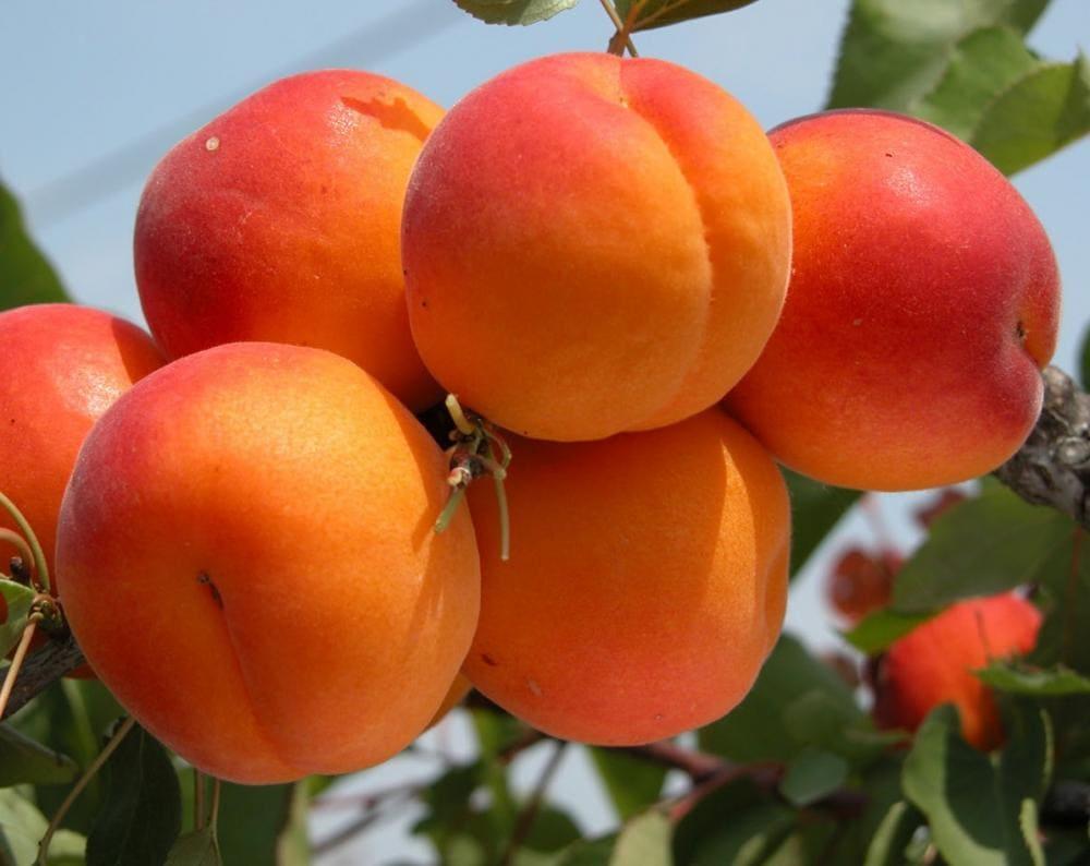 Абрикос чемпион севера: особенности сорта и рекомендации по выращиванию