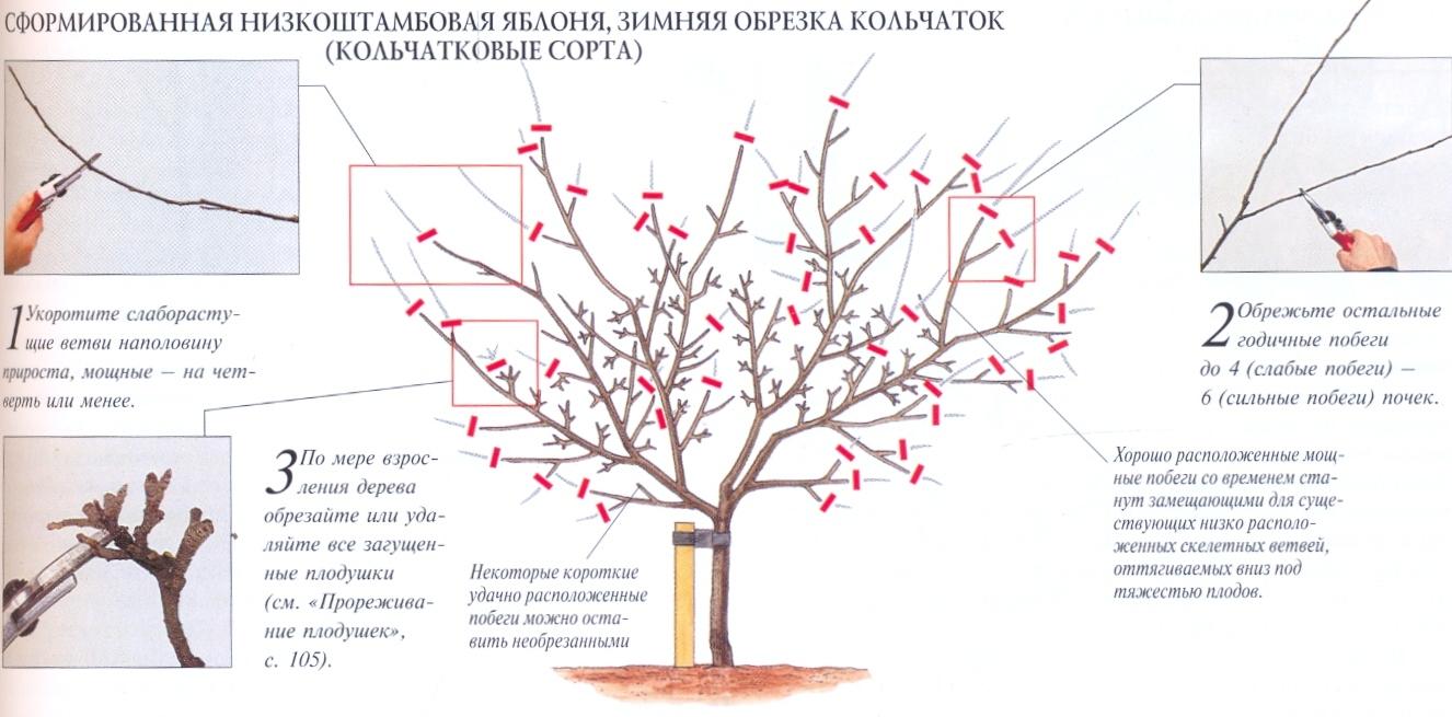 Правила посадки вишни и особенности ухода