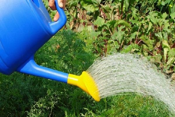 Полив моркови соленой водой: можно ли и зачем использовать такую подкормку, каковы правильные пропорции раствора, когда вносить удобрение?
