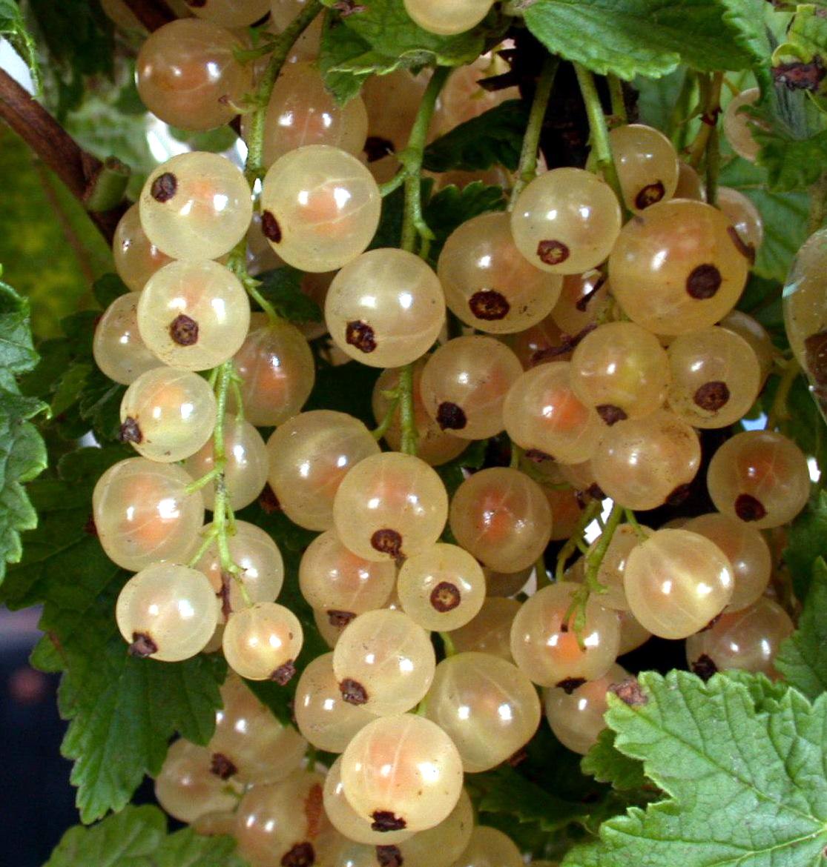 Белая фея – лидирующий сорт среди белоплодной смородины