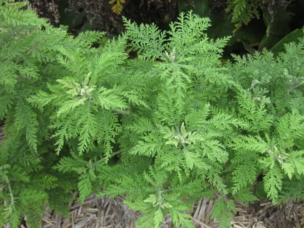 Описание укропного дерева, выращивание и уход за растением