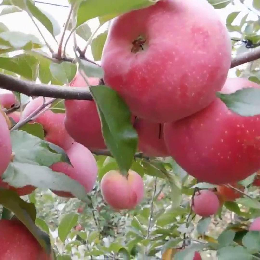 Сорт яблони фуджи: описание, фото