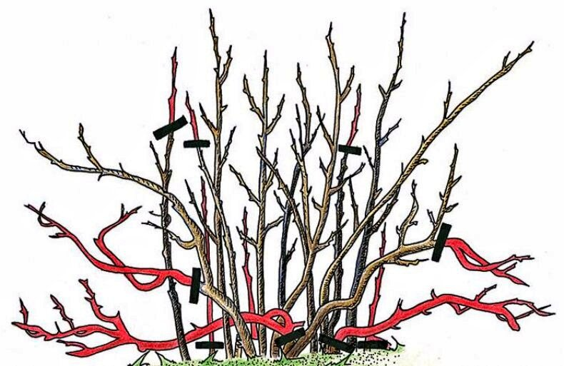 Формирование крыжовника: 3 способа формировки кустов