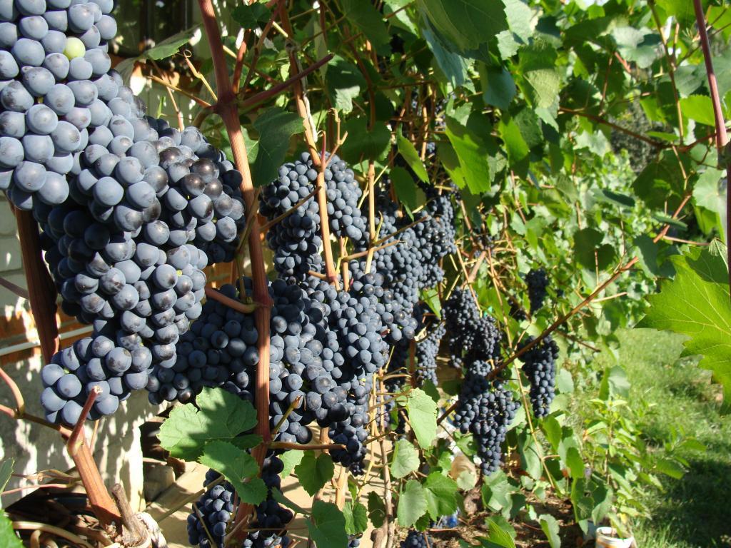 Правила высоких урожаев винограда
