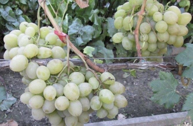 Виноград мускат розовый: описание сорта, фото